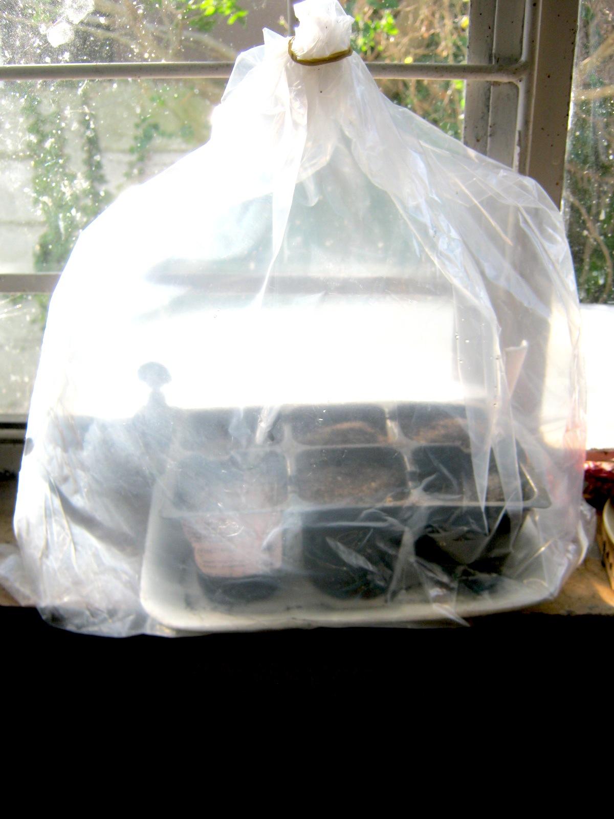 Carolina Reaper seeds in a plastic bag on window sill