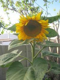 Meine Sonnenblume in Hundekot und Wurmhumus.