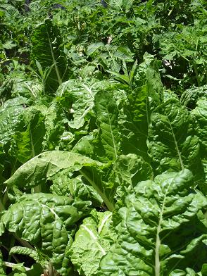 Swiss chard plants grown in worm rich soil