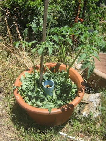 Larger tomato plants