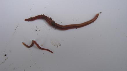 Ein ausgewachsener Wurm neben einem Wurm der nur einige Tage alt ist.