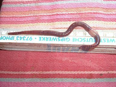 Ein ausgewachsener Regenwurm (Eisenia fetida).