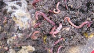 Compost worms to start-a-worm-farm