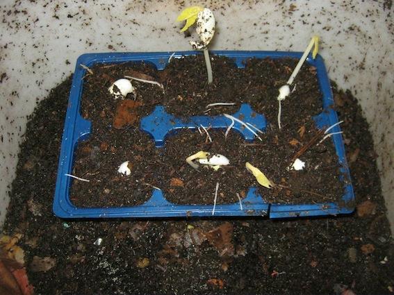 Green bean seedlings after 6 days inside a worm bin.