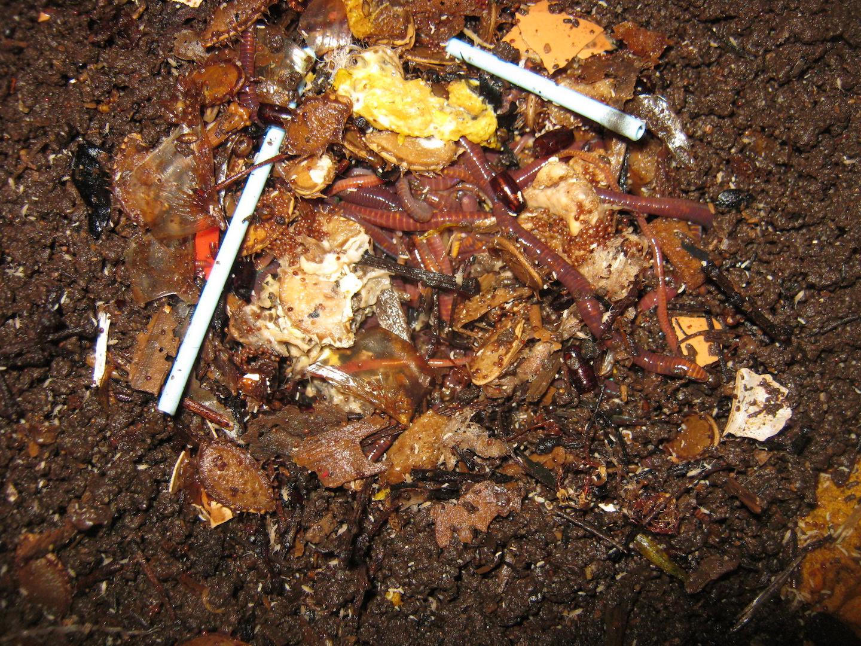 Eine Gruppe von Würmern die das schon fast verschwundene Ei verzehren