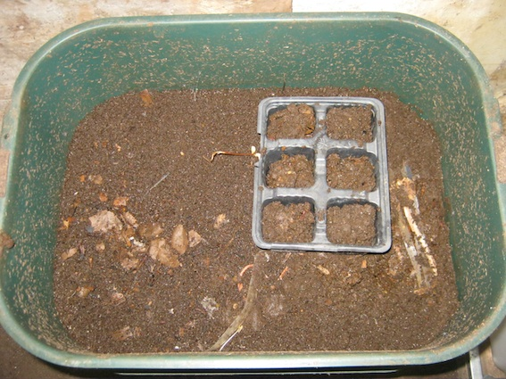 Germinating seeds in a tray inside a worm bin