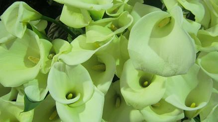 Arum Lilien gedeihen gut mit Hilfe von Wurmhumus.