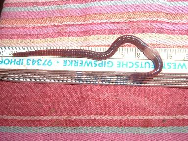 Huge earthworm on a ruler