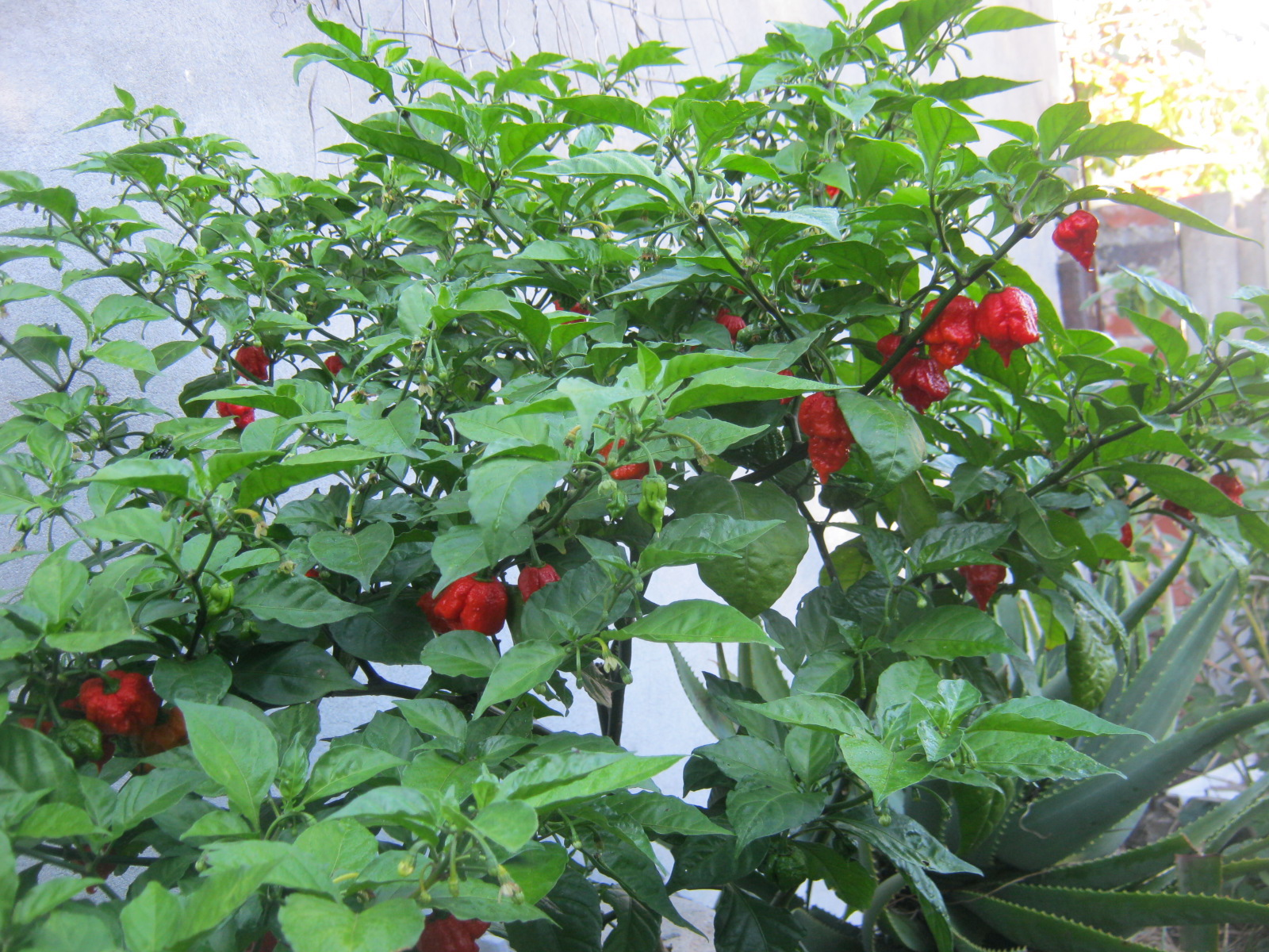 Carolina Reaper plant with lots of ripe chili pods at the end of May 2017