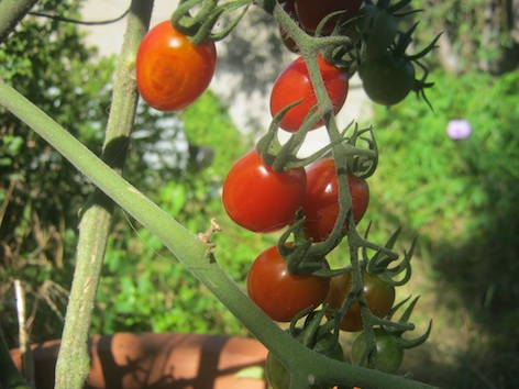 A bunch of cherry tomatoes ripening