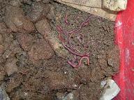 Würmer in einer Wurmkiste in der sie ausschliesslich mit Hundekot gefüttert werden.