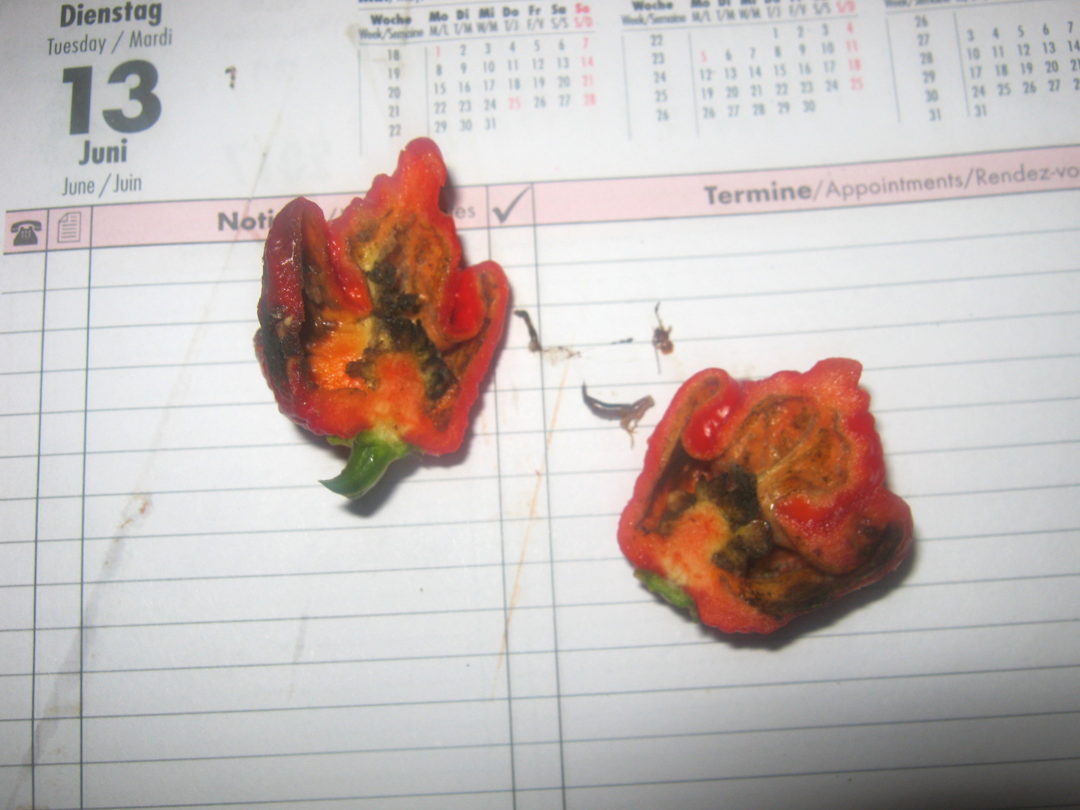 Carolina reaper pod that was damaged by ear wig cut in half