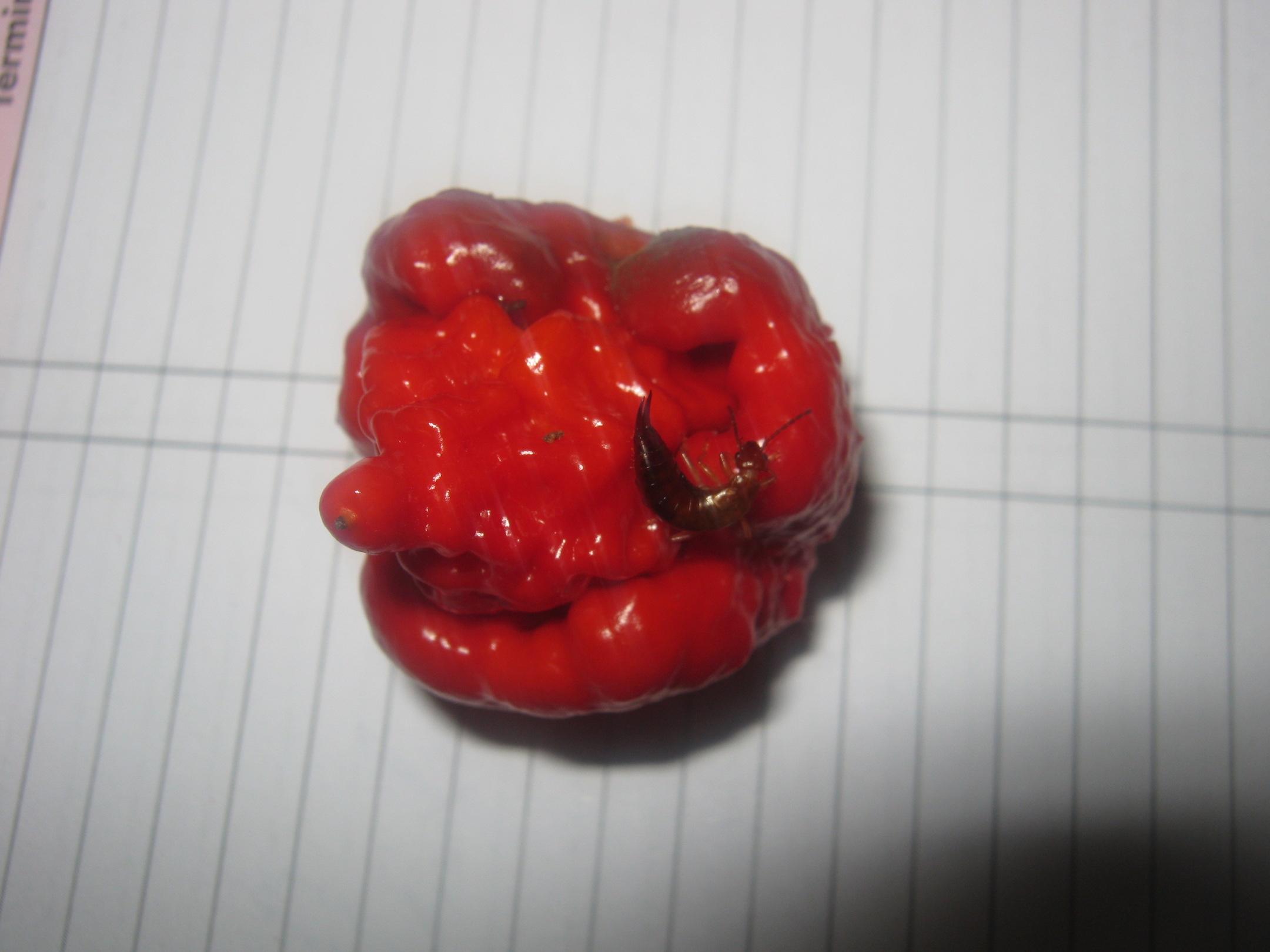 Ear wig on damaged Carolina Reaper chili pod
