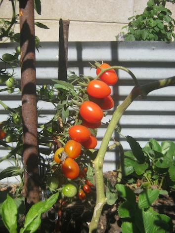lots of cherry tomatoes ripening on a branch