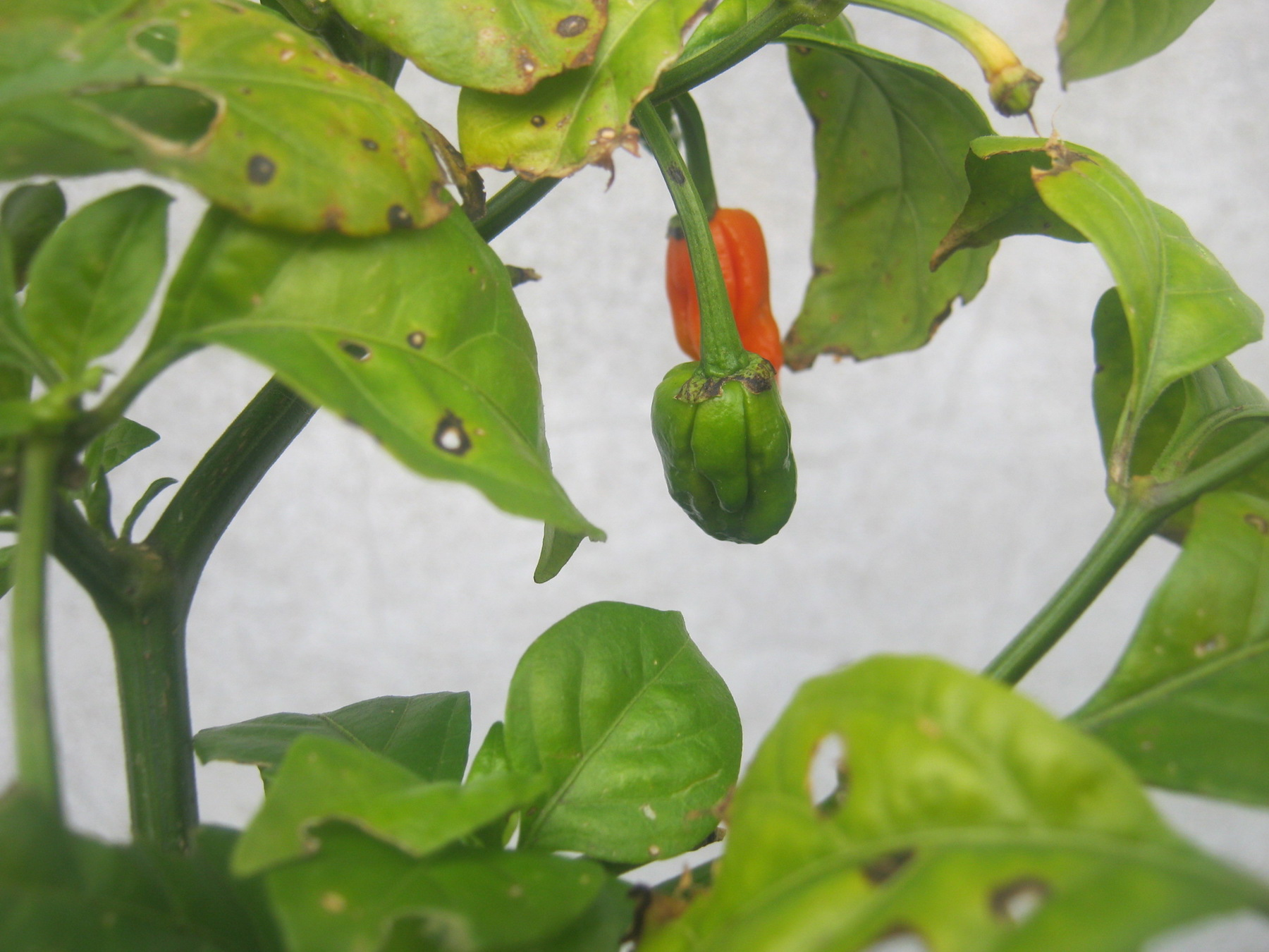 Tiny Carolina Reaper pods on plant just before Winter pruning