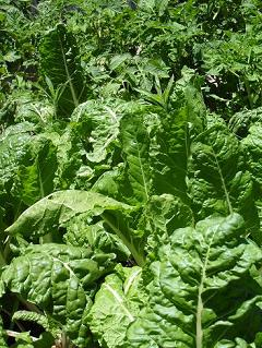 Swiss Chard and tomato plants grown in Worm Casting rich soil.
