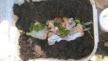 Worm food placed in a trench in a worm farm before it gets covered with worm castings.