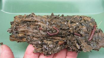 Some worms enjoying themselves in a piece of cardboard bedding.