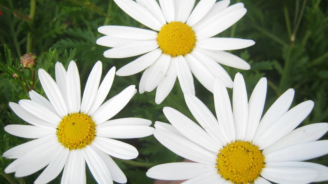 Daisies can be seen in many variations in spring.