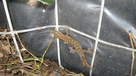 Geckos can be frequent visitors to worm bins in certain parts of the world