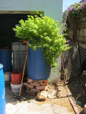 Aquaponics mint plant used to drive out ants from a worm bin