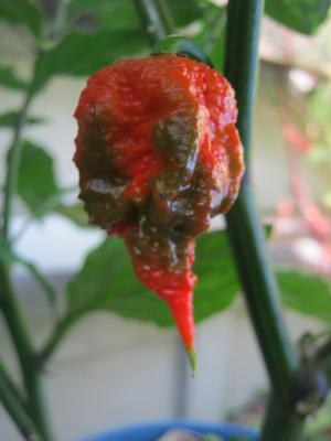 Carolina Reaper fruit changing color