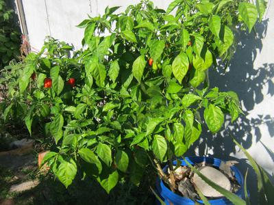 Pot with Carolina Reaper plant and compost worms