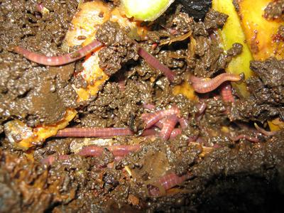 Worms and bedding in my worm farm
