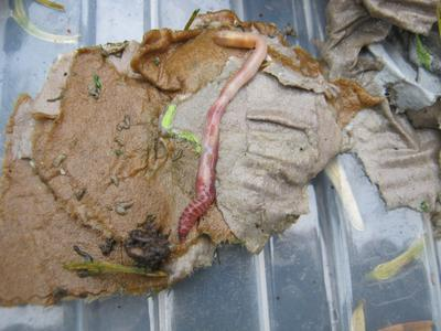 Compost worms can help to recycle dog and human poop
