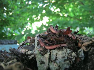 Dendros on a pile of organic scraps