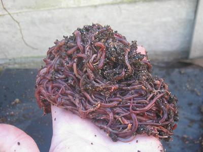 Batch of compost worms separated from worm castings