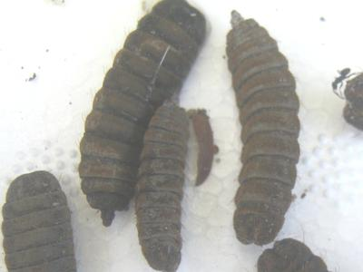 Black soldier fly maggots