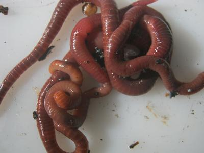 bunch of worms