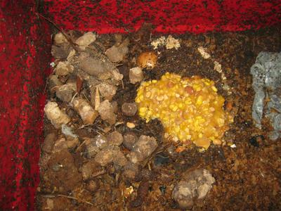 Sweet corn, dog poop and beans in a worm bin
