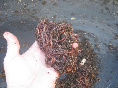 Compost worms in my hand