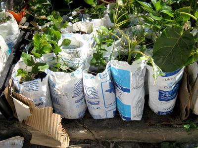 Milk sachet nursery with small cork oaks and tomarillos