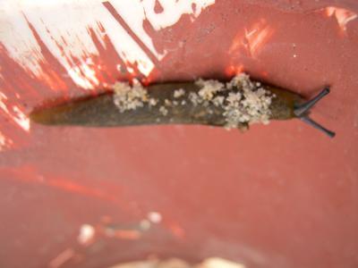 1 of 8 slugs found in our milk sachet nursery