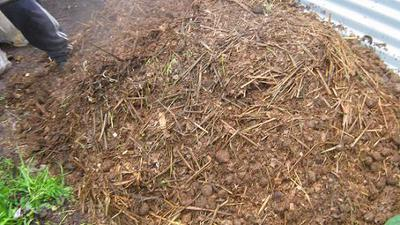 A pile of horse manure prepared for worm composting