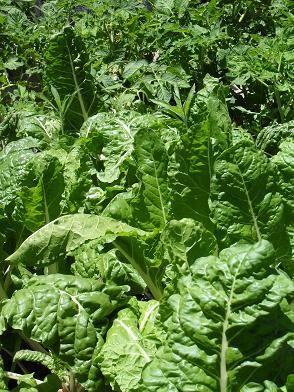 Gesunde Spinat Pflanzen die in Gartenerde mit dem Zusatz von Wurmhumus gewachsen sind.