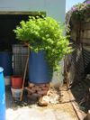 Mint-plant-growing-in-a-200l/52gal