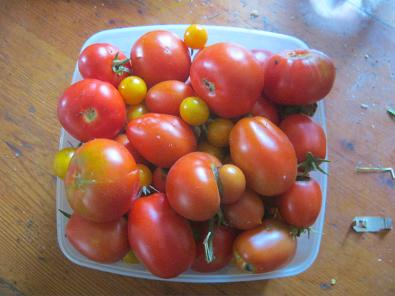 Some freshly harvested tomatoes from our Vegetable garden.