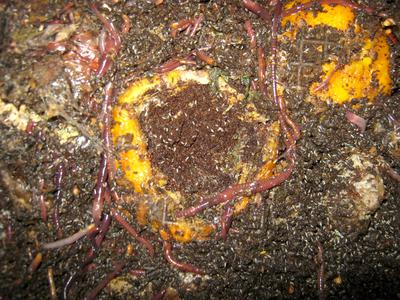 Worms feeding on orange peels