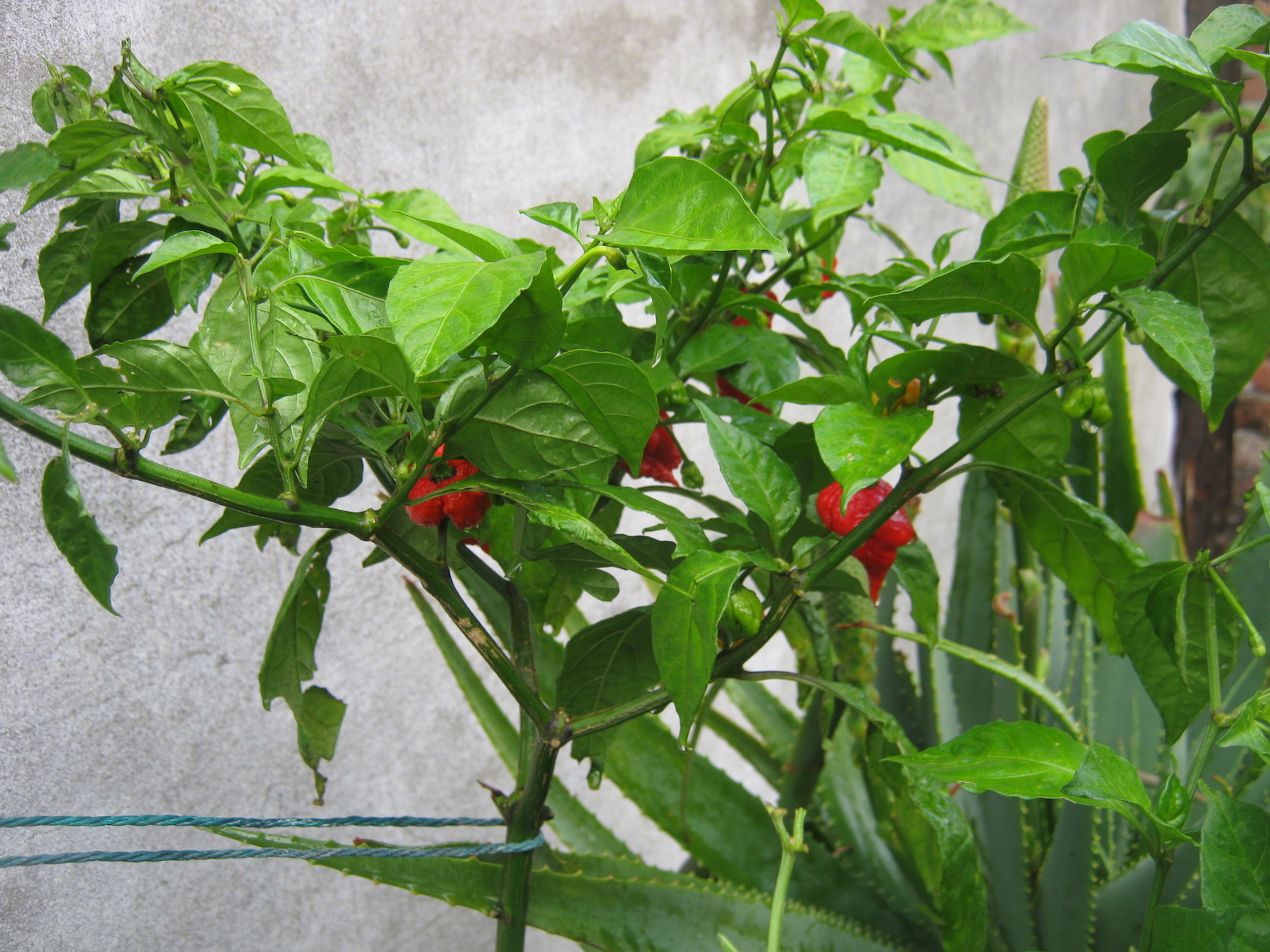 One of the two remaining branches of the Carolina Reaper plant supported with string to prevent it from breaking off (08.06.2017)