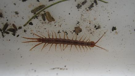 A centipede can often can attack and eat earth worms.