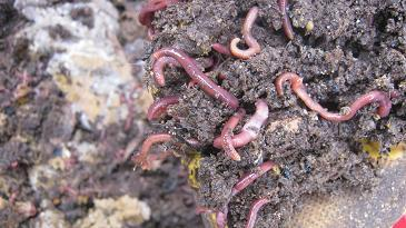 Compost worms moving down into their worm bed