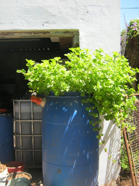 Mint plant growing in an aquaponics system fed by fish and worms.