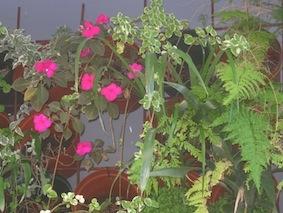 Plastic pots on a trellis make a great vertical garden.