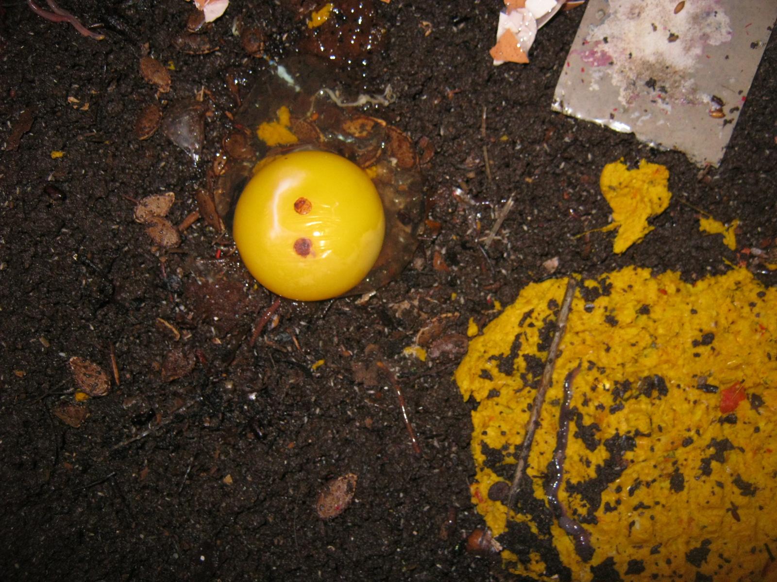 ein rohes Ei auf der Oberfläche einer Wurmfarm dient als Wurmfutter