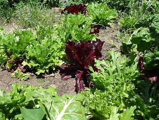 Tasty rocket lettuce grown in sand enriched with worm castings.