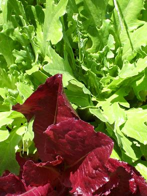 Rocket lettuce grown in Sandy soil enriched with worm castings.